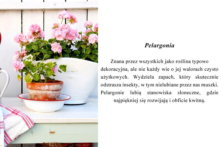 Pelargonia – znana przez wszystkich jako roślina typowo dekoracyjna, ale nie każdy wie o jej walorach czysto użytkowych. Wydziela zapach, który skutecznie odstrasza insekty, w tym nielubiane przez nas muszki. Pelargonie lubią stanowiska słoneczne, gdzie najpiękniej się rozwijają i obficie kwitną.