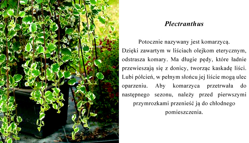 dzięki zawartym w liściach olejkom eterycznym, roślina odstrasza komary.