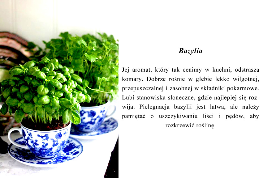 aromat tej rośliny, który tak cenimy w kuchni, odstrasza komary.