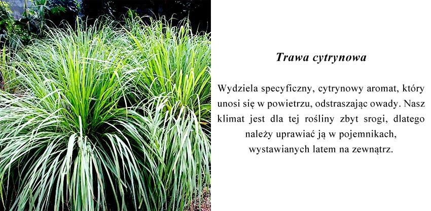 wydziela specyficzny, cytrynowy aromat, który unosi się w powietrzu, odstraszając owady.